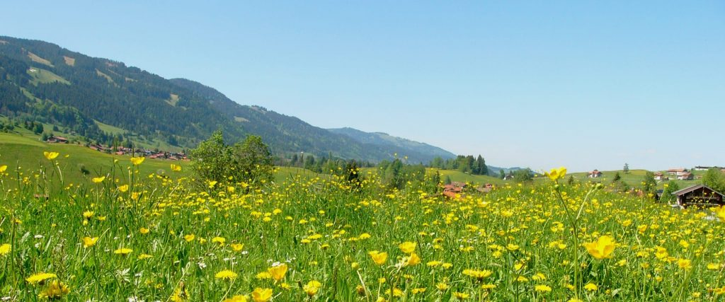 Meadow of yellow wildflowers with rolling hills in the background.
