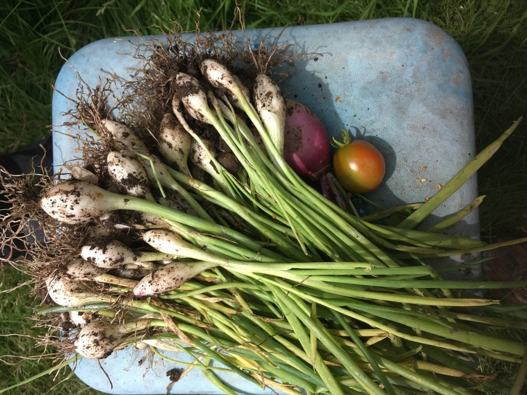 image of a basket of freshly picked vegetables. there are spring onions and tomatoes